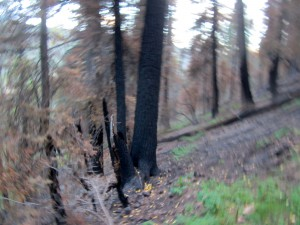 Weird shot in the burned spruce--as result of snapping while I rode.